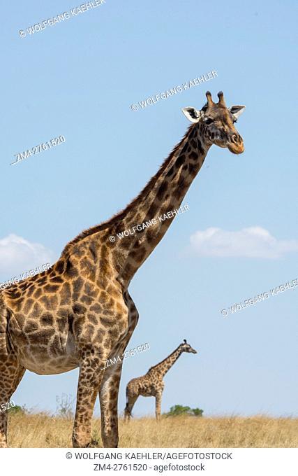 Two Masai giraffes (Giraffa tippelskirchi) in the Masai Mara in Kenya