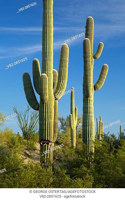 Saguaro, Cabeza Prieta National Wildlife Refuge, Arizona