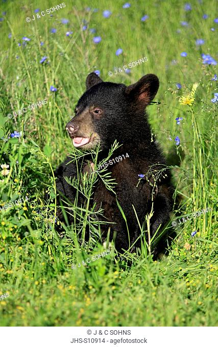 Black Bear, Ursus americanus, Montana, USA, North America, young in meadow