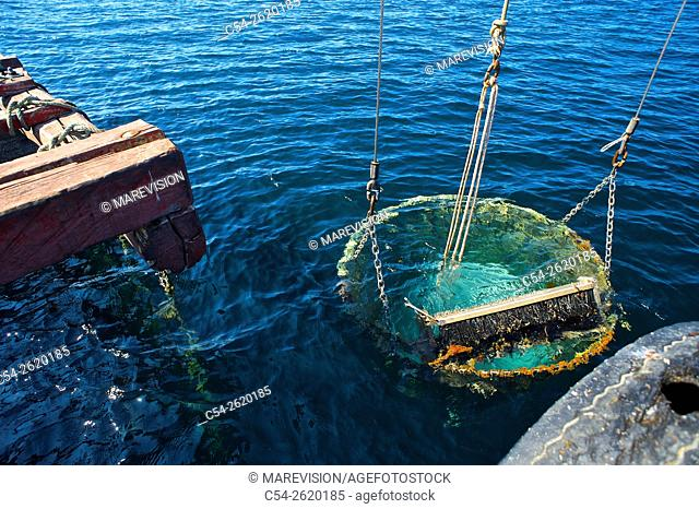 Working in a sea farm of common mussel (Mytilus galloprovincialis). Basket for picking ropes mussels. Eastern Atlantic. Galicia. Spain. Europe