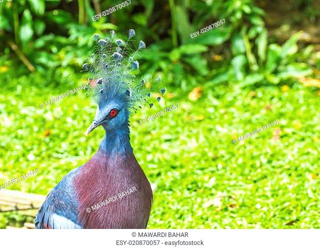 Victoria Crowned Pigeon (Goura victoria) bird with green grass on background