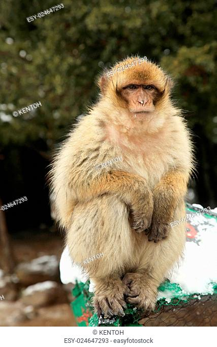 Barbary Ape or Macaque in Morocco