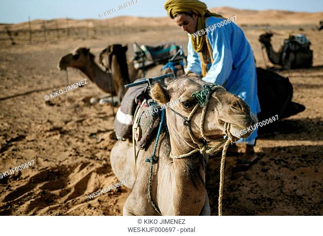 Berber man preparing camels for travel