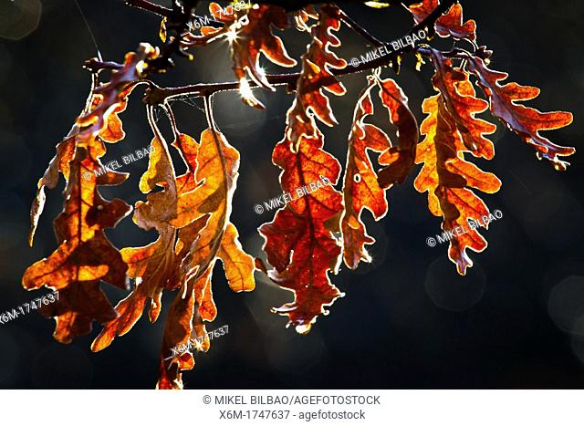 Oak tree leaves in autumn  Gorbeia Natural Park  Alava, Basque Country, Spain