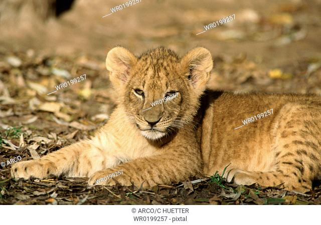 African, Lion, cub,Panthera, leo