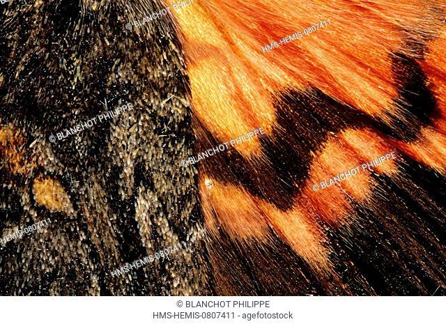 France, Paris, Museum National d'Histoire Naturelle, Lepidoptera, Noctuidae, Dark Crimson Under Butterfly (Catocala sponsa), wings detail