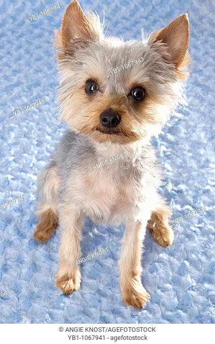 Portrait of a Yorkie dog on a blue background