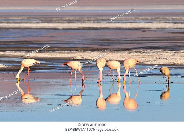 Bolivia, Laguna Colorada, the Puna Flamingo, Phoenicoparrus Jamesi