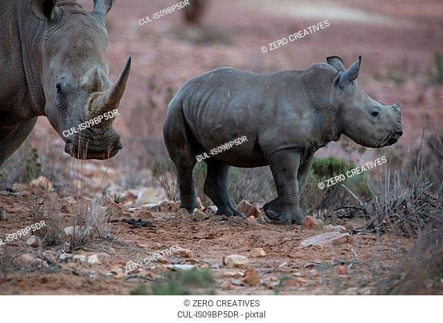 White rhinoceros and calf (Ceratotherium simum), Touws River, Western Cape, South Africa