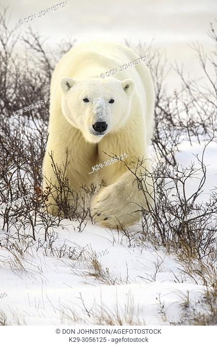 Polar Bear (Ursus maritimus) Curious individual approaching, Churchill Wildlife Management area, Churchill, Manitoba, Canada