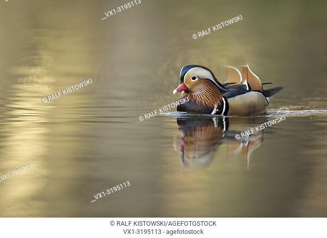 Drake of Mandarin Duck (Aix galericulata) swims relaxed on a small pond in nice golden light, side view, Germany. .