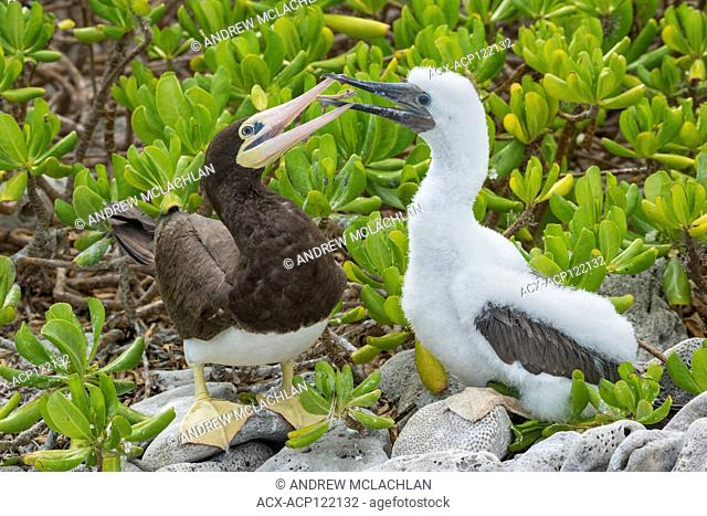 Brown Booby with chick (Sula leucogaster), Cayman Brac, Cayman Islands, British West Indies