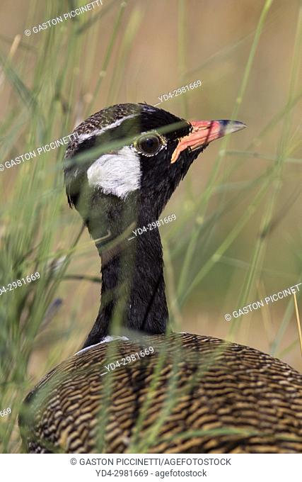 Northern black korhaan (Afrotis afraoides), also known as the white-quilled bustard, Kgalagadi Trasnfrontier Park, Kalahari desert, South Africa/Botswana