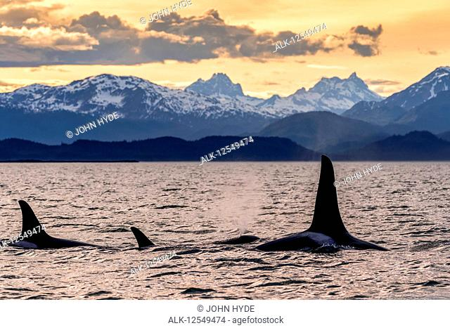 Orca whale (Orcinus orca) pod in Lynn Canal at sunset with Eagle Glacier and Coast Range in the background, Southeast Alaska; Alaska, United States of America