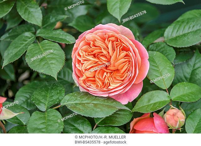 hybrid tea (Rosa 'Chippendale', Rosa Chippendale), cultivar Chippendale