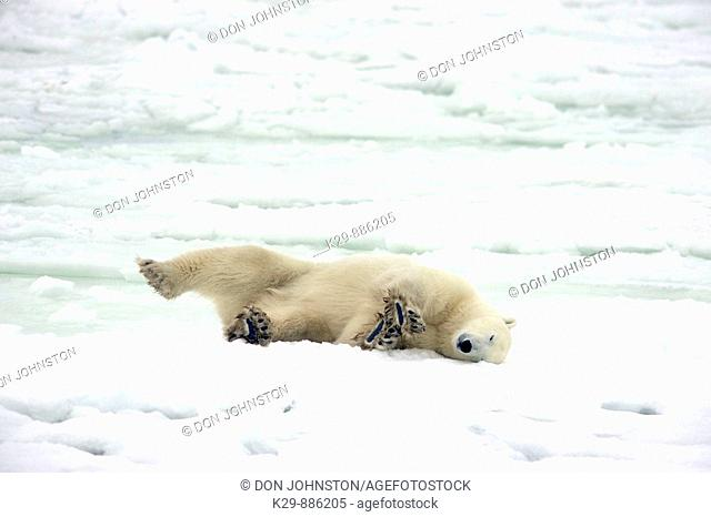 Polar bear Ursus maritimus Resting in snow along Hudson Bay coastline