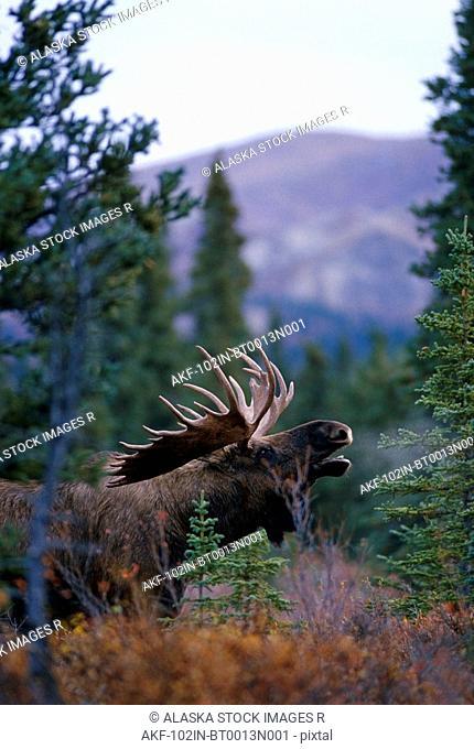 Bull Moose Calling Forest Denali National Park AK