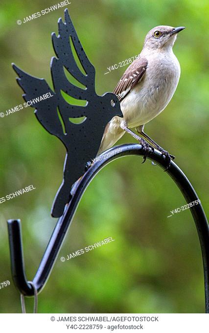 Northern Mockingbird Mimus polyglottos in southwestern Florida