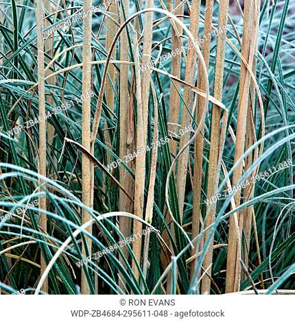 Winter frost covered ornamental grass