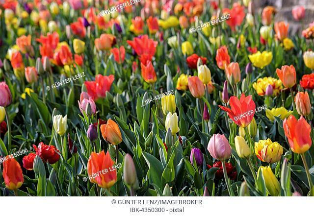Colorful tulips (Tulipa) in bed, Meersburg, Baden-Württemberg, Germany