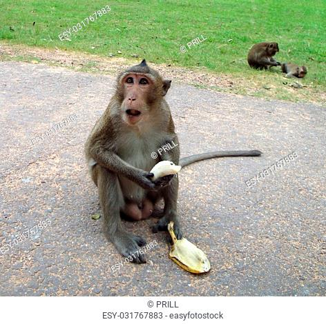 monkey on a street in Laos while eating a banana