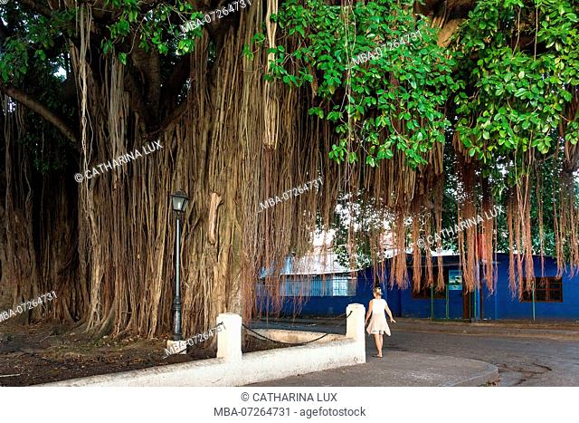 Cuba, Cienfuegos, giant gum tree with aerial roots