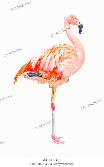Pink flamingo, isolated on white background