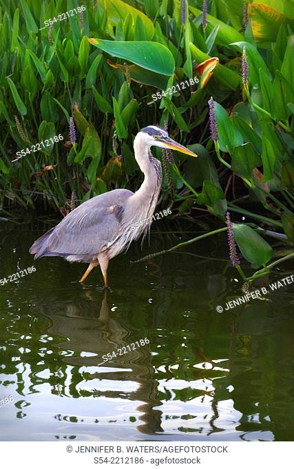 An adult Great Blue Heron hunting at the Wakodahatchee Wetlands near Delray Beach, Florida, USA. Ardea herodias