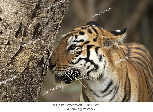 Tiger, Panthera tigris, Tadoba Andhari Tiger Reserve, Maharashtra, India