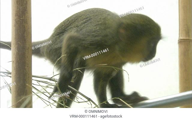WS Baby Hamlyn Monkey climbing and grooming itself / Mulhouse Zoo, France