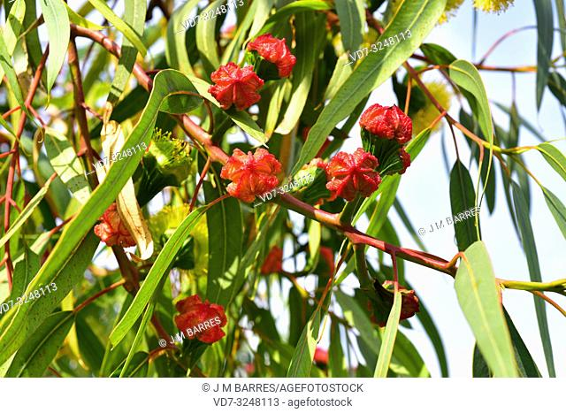 Illyarrie or red-capped gum (Eucalyptus erythrocorys) is a tree native to western Australia. Floral buds and leaves detail