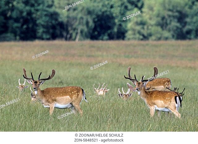 Damhirsche mit Bastgeweih im Hochsommer / Fallow Deer stags with velvet antler in midsummer / Dama dama (dama) - (Cervus dama)