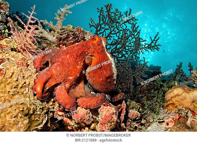Octopus (Octopus vulgaris), red, sitting on coral reef, Great Barrier Reef, UNESCO World Heritage Site, Cairns, Queensland, Australia, Pacific