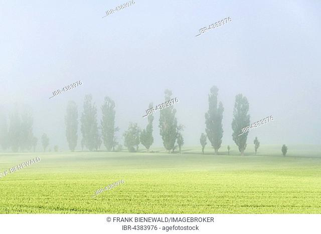 A row of Poplar trees (Populus) is shining through the thick fog, valley of the river Elbe, Königstein, Saxony, Germany