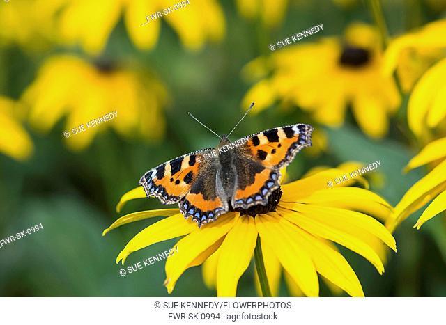 Coneflower, Black-eyed Susan, Rudbeckia, Small Tortoiseshell butterfly Aglais urticae, feeding on yellow flower