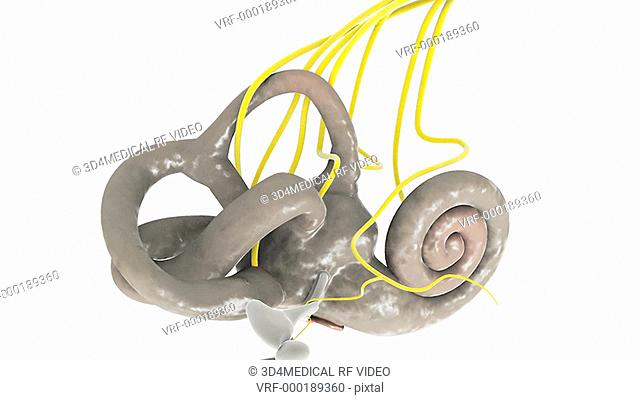 Animation depicting a rotation of the membranous labyrinth on the inside of the inner ear