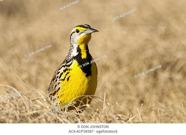 Eastern Meadowlark Sturnella magna, Kissimmee Prairie Preserve State Park, Florida, United States of America