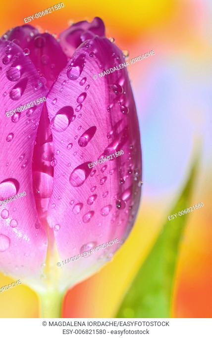 Close up of purple tulips in vase on natural background