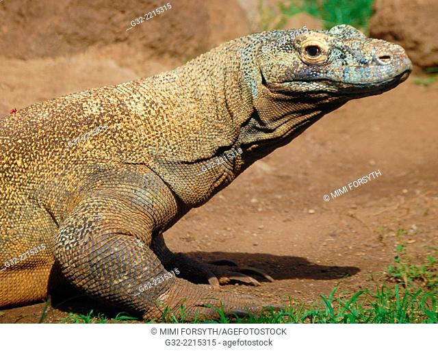 Komodo dragon (monitor), (Varanus komodensis), photographed t Honolulu (Hawai'i) Zoo. Native to Indonesia