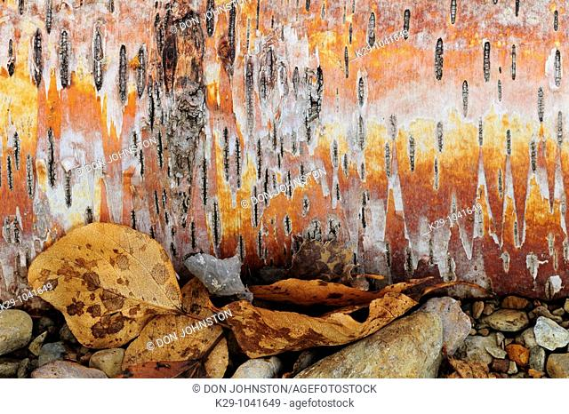 Fallen white birch log Betula papyrifera showing bark and lenticels