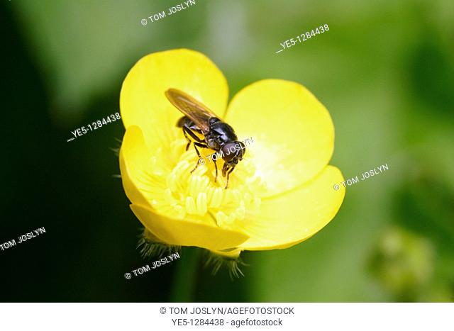 Lesser House fly Fannia canicularis on Buttercup Ranunculus repens, England , UK