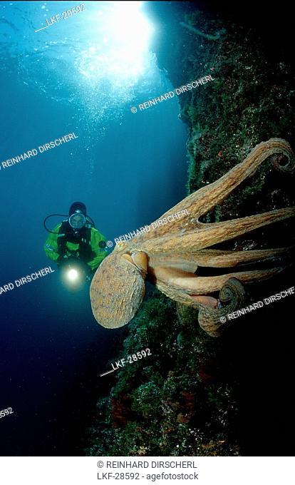 Gemeiner Krake und Taucher, Octopus and scuba dive, Octopus and scuba diver, Octopus vulgaris