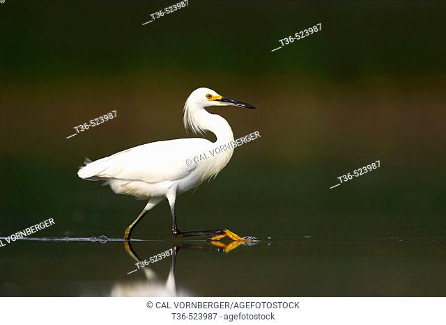 A Snowy Egret (Egretta thula) wading in the shallow water of the West Pond at Jamaica Bay National Wildlife Refuge. The trademark yellow foot of the Snowy Egret...