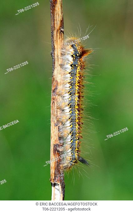 White butterfly (Pieris brassicae) carterpillar larva, nature reserve of the alluvial forest of Offendorf, Rhine, Alsace, France, May