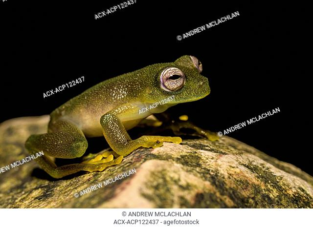Critically endangered Cochran Frog (Rulyrana saxiscandens) in the Cordillera Escalera of the Amazon Rainforest near Tarapoto, Peru
