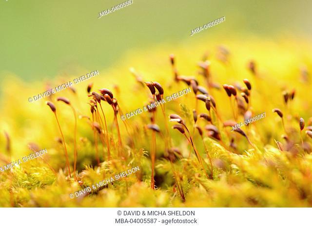 Stairstep moss, Hylocomium splendens, bolls, detail