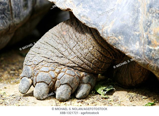 Captive Galapagos giant tortoise Geochelone elephantopus rear foot and claw detail being fed at the Charles Darwin Research Station on Santa Cruz Island in the...