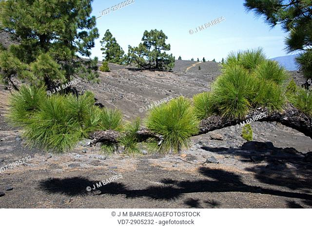 Pino canario or Canary Island pine (Pinus canariensis) is a tree endemic of Gran Canaria, Tenerife, La Gomera, La Palma and El Hierro Islands (Canary Islands)