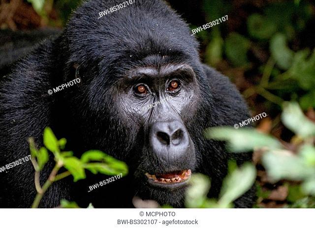 Mountain gorilla (Gorilla beringei beringei), portrait, Uganda, Bwindi Impenetrable National Park