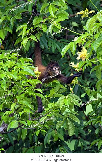 Black-handed Spider Monkey (Ateles geoffroyi) sub-adult feeding on flower nectar, Osa Peninsula, Costa Rica